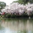 豪華絢爛桜(3)