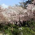 豪華絢爛桜(2)