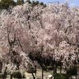 ぼりゅーむのある八重紅枝垂桜