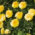 木幡研の花F27