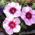 木幡研の花F28