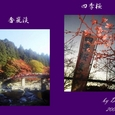 紅葉と桜:香嵐渓と小原の四季桜