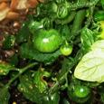 里のプチトマト