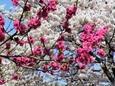 桃と桜をこき混ぜて