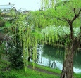 伏見港の枝垂れ柳