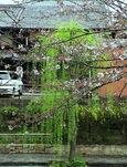 寺田屋の柳桜