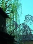辰巳橋枝垂れ柳桜