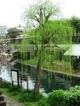 長建寺前の柳桜