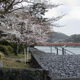 宇治神社前、岸辺の孤桜
