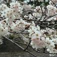 宇治川桜姫