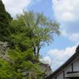 慈眼禅寺裏の銀杏の巨木