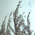 木幡の桜・平成18年4月