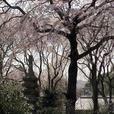桜の森:佐野藤右衛門邸の桜