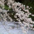 天神川桜29番 はかなし