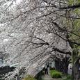 天神川桜34番 遊歩道